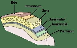 The Periosteum!