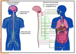 massage therapy affect on the autonomic nervous system