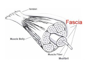 The Mystery of Fascia – The Integral Tissue of Your Body